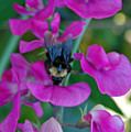 The Bee And The Flowers by Carol  Eliassen