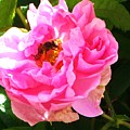 The Bee In The Rose by Sunaina Serna Ahluwalia