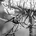 The Beetle Acrobat Black And White by Sharon McConnell