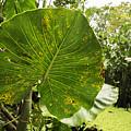 The Big Leaf by Eline Van Nes