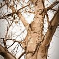 The Birch by Mark Salamon
