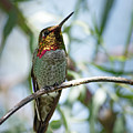The Bird In The Foil Mask -- Anna's Hummingbird In Templeton, California by Darin Volpe