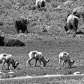 The Bison And The Bighorns Black And Whtie by Adam Jewell