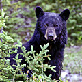 The Black Bear Stare by Scott Mahon