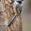 The Black Capped Chickadee by Bill Wakeley