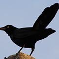 The Black Crow II by Toni Fontana