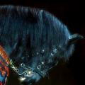 The Black Horse Iv by Amanda Struz
