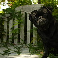 The Black Pug Marley by Kareem Farooq