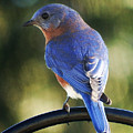The Bluebird by Bruce Bouley