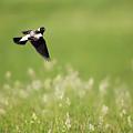 The Bobolink In Flight by Bill Wakeley