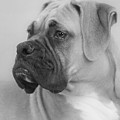 The Boxer Dog - The Gentleman Amongst Dogs by Christine Till
