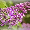 The Branch Of Lilac by Anna Matveeva