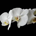 The Branch Of White Orchid On Black Background by Aleksandr Rybin