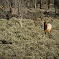The Bull Elk by Belinda Greb
