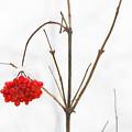 The Bunch Of Winter Rowan by Anatoliy Spiridonov