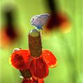 The Butterfly And The Coneflower by Saija  Lehtonen