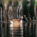 The Canada Goose by Bill Wakeley