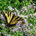 The Canadian Tiger Swallowtail by Tikvah's Hope