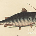 The Cat Fish (silurus Catus) by Mark Catesby