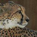 The Cheetah 2 by Ernie Echols