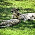 The Cheetahs by Saija  Lehtonen
