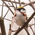 The Chestnut Warbler by Mark Stephens