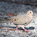 The Chipper Mourning Dove by JR Cox