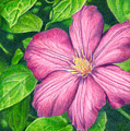 The Clematis Flower by Kat Skinner