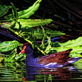 The Common Gallinule by HH Photography of Florida