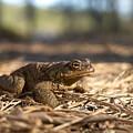 The Common Toad 4 by Jouko Lehto