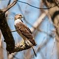 The Cooper's Hawk by Heather Hubbard