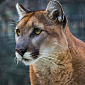 The Cougar by Mitch Shindelbower