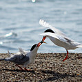 The Courtship Feeding - Series 2 Of 3 by Debra Martz
