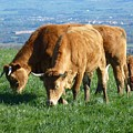 The Cows Family by Jean Bernard Roussilhe