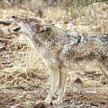 The Coyote Howl by Elaine Malott