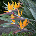 The Crane Flower - Bird Of Paradise  by Gene Parks