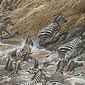 The Crossing - Zebra Migration by Alan M Hunt