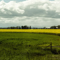 The Curve Of A Mustard Crop by Belinda Greb