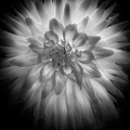 The Dahlia Bw by Mike Nellums