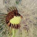 The Dandelion Nucleus by Sherman Perry