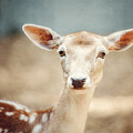 The Deer by Lisa Russo