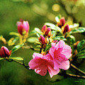The Delicate Azalea by Angelcia Wright
