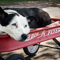 The Dog and the Radio Flyer