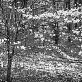 The Dogwoods Are Blooming It Must Be Spring. by Philip Rispin