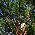 The Dover Oak by Raymond Salani III
