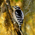 The Downy Woodpecker by David Lee Thompson