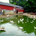 The Duck Pond by Ed Weidman
