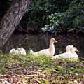 The Ducks by Eva Thomas