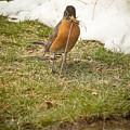 The Early Bird - Robin - Casper Wyoming by Diane Mintle