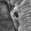 The Elephant In Black And White by JC Findley